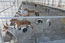 یک دهه زمان برای کنترل جمعیت سگهای بدون صاحب اهواز