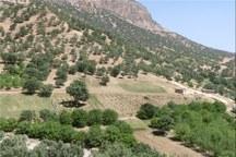طرح آبیاری فتیله ای در باغات سامان اجرا شد