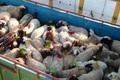 130 راس دام فاقد مجوز حمل در شهرستان البرز کشف شد