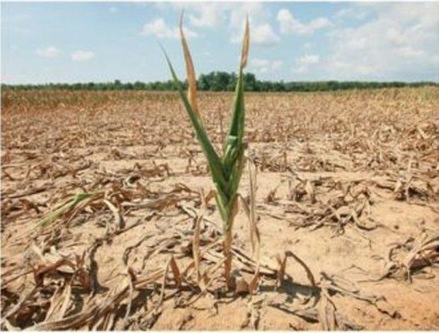 افزایش دما محصولات کشاورزی بوشهر را تهدید می کند