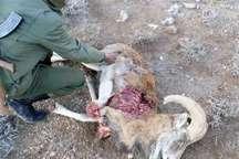 2 شکارچی غیرمجاز در رفسنجان دستگیر شد