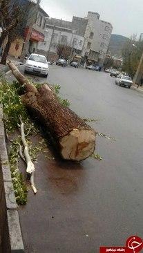 قطع درختان تنومند در خلخال + عکس