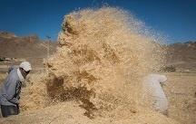 خرید تضمینی گندم در استان زنجان به ۱۳۱ هزار تن رسید