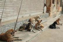 تکذیب جمع آوری 200 سگ در خلیفان نقده برای کشتار