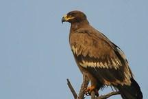 تحویل عقاب مصدوم به اداره حفاظت محیط زیست آستارا