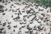 خطرملخ 39 هزارهکتار باغ نخل و مرکبات بوشهر را تهدید می کند