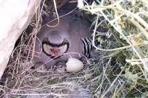 شکارچیان، ماده کبک های خوابیده بر روی تخم را زنده به تور انداختند