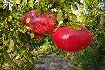 کاهش 80 درصدی برداشت انار در سبزوار