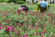 تولید 41میلیون تن گل گاوزبان در تالش   افزایش 10درصدی محصول نسبت به گذشته