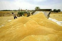 پرداخت  45 درصد از مطالبات گندمکاران استان  مازندران