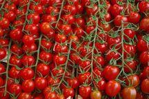 سرخی قیمت گوجه بزودی رنگ میبازد