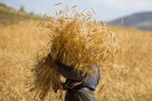 17500 تن گندم از کشاورزان قمی به صورت تضمینی خریداری شد