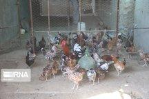 ۱۰۰ هزار قطعه پرنده بومی در ساوه علیه نیوکاسل واکسینه شد