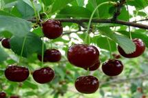 میوه باغ های ملکشاهی روانه بازار شد