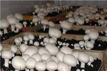 تولید 2000 تن قارچ خوراکی در آذربایجان غربی