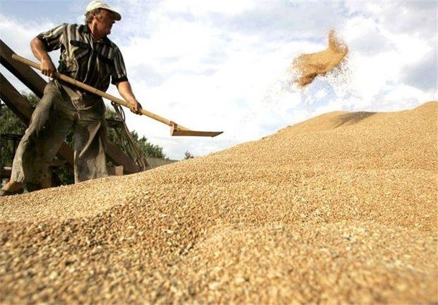 میزان خرید گندم از کشاورزان خلخال کاهش یافت