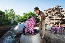1124 تن گل در استان مرکزی فرآوری شد