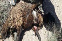 سگ های وحشی 6 راس گوسفند را در بافق دریدند