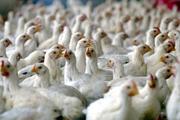 2 دستگاه کامیونت حامل مرغ زنده قاچاق در ایرانشهر توقیف شدند