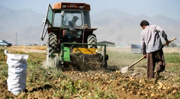 مشوق های صادراتی برای سیب زمینی اعمال می شود