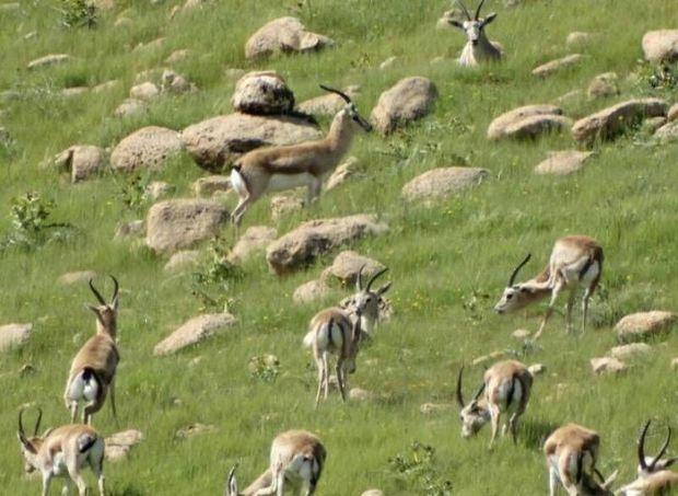 دشت قراویز در سرپلذهاب تنها زیستگاه آهوی ایرانی در غرب کشور است