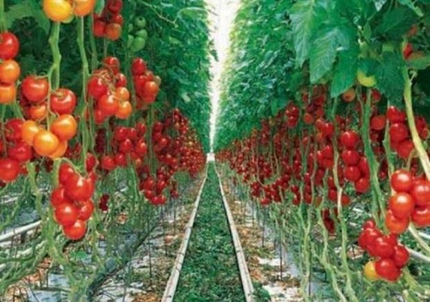 11 هزار تن گوجه فرنگی گلخانه ای از آذربایجان شرقی صادر شد