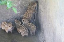 نجات و رها سازی چهار راس توله گراز وحشی توسط محیط بانان شاهیندژ