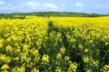 آغاز برداشت و خرید تضمینی کلزا در آذربایجان غربی  پیشبینی برداشت بیش از ۱۴ هزار تن محصول از مزارع کلزا در استان