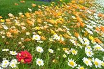 45 تن گیاه دارویی در قزوین تولید می شود