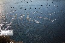 پرندگان زمستان گذران به مازندران رسیدند