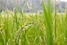 نخستین خوشه های برنج در مزارع شالیزاری املش نمایان شد