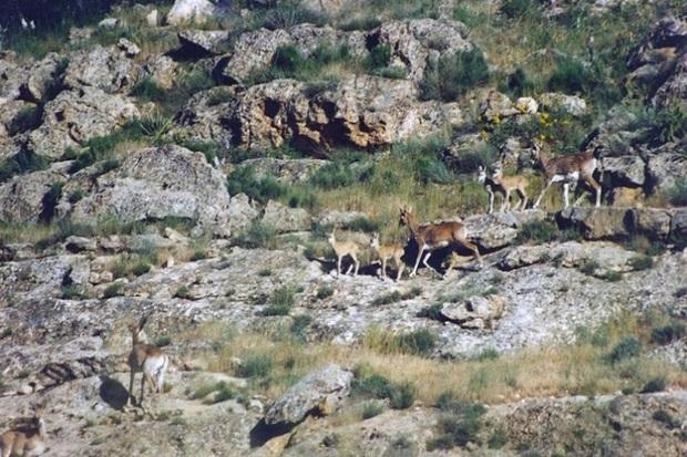 بارندگی ها مشکلی برای حیات وحش کردستان ایجاد نکرد
