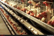 بستهبندی و بازاریابی ضعف واحدهای مرغ تخم گذار است