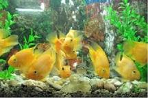 ظرفیت تولید ماهیان زینتی چهارمحال و بختیاری به 500 هزار قطعه می رسد