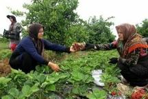 آغاز برداشت توت فرنگی در فومن  ایجاد اشتغال فصلی برای 100 نفر