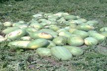 برداشت هندوانه چاف در شهرستان لنگرود آغاز شد