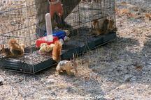 30 بطانه سنجاب و 2 جوجه تیغی در سروآباد رهاسازی شد