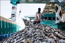 کمترازپنج درصد صید فانوس ماهیان درهرمزگان صورت می گیرد