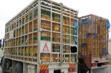 1264 قطعه مرغ قاچاق در سراوان کشف شد