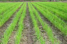 خشکه کاری، راهکاری برای صرفه جویی آب در مزارع برنج