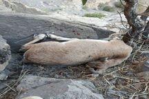 دستگیری شکارچی متخلف بز وحشی در لرستان