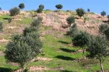 85 هکتار جنگل دست کاشت در گچساران ایجاد شد