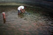 رهاسازی 50 هزار قطعه انواع بچه ماهی گرمابی در استخرهای ذخیره آب کشاورزی و آب بندانهای آذربایجان غربی