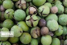رونق تولید گردو در مازندران پس از سه سال سرمازدگی