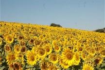 سه مرکز خرید تضمینی دانه روغنی آفتابگردان در خوزستان فعال شد