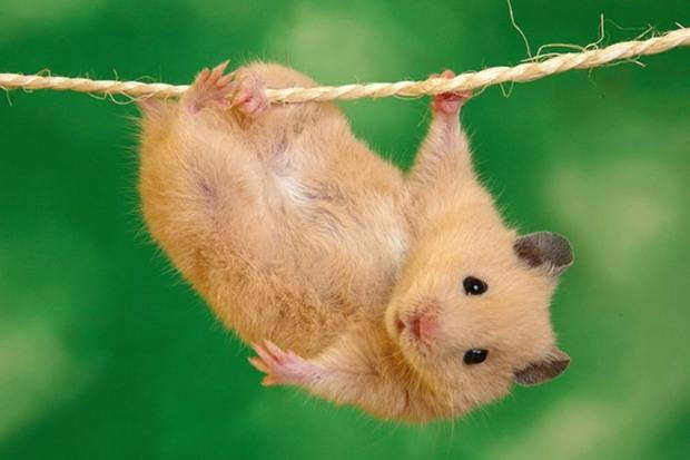 نگهداری همستر به عنوان حیوان خانگی، عواقب بهداشتی دارد
