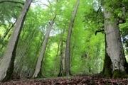 میزان ارزش چوب تولیدی در جنگل های شمال 550 میلیارد تومان است