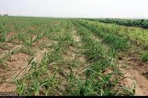 6 هزار میلیارد ریال به بخش کشاورزی خراسان رضوی خسارت وارد شد