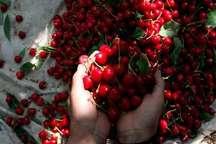 برای نخستین بار در کشور زنجیره صادرات گیلاس تولیدی استان تهران تشکیل شد
