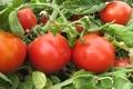 مبارزه بیولوژیک در اراضی زیرکشت گوجه فرنگی در حال انجام است